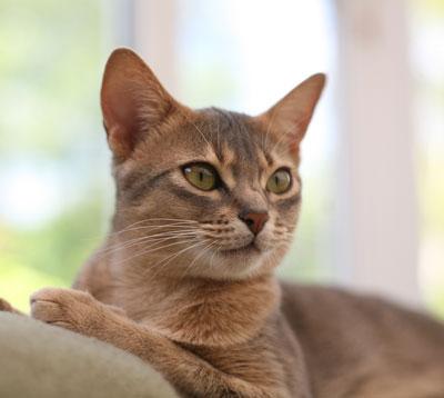 Abesszin macska