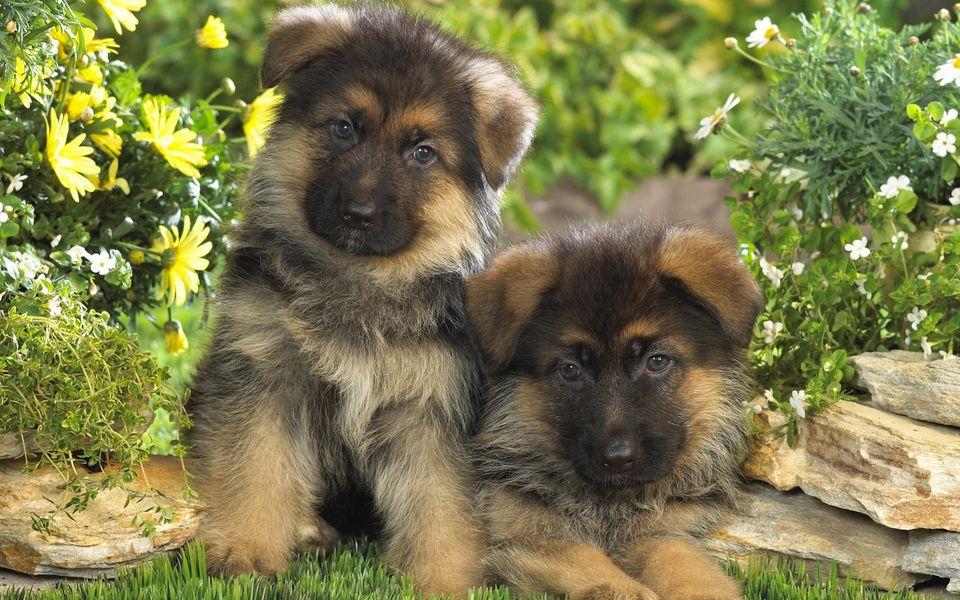 Németjuhász kutyák