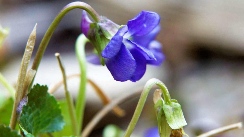 Áprilisi virág - Ibolya