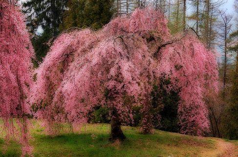 Higan cseresznyefa