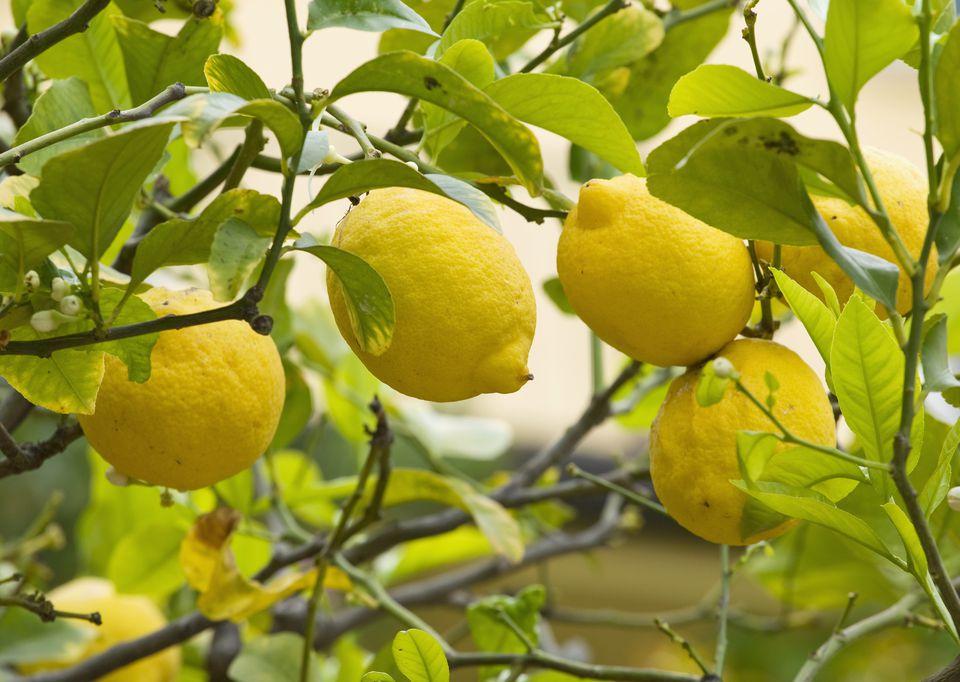 Lisszaboni citromfa